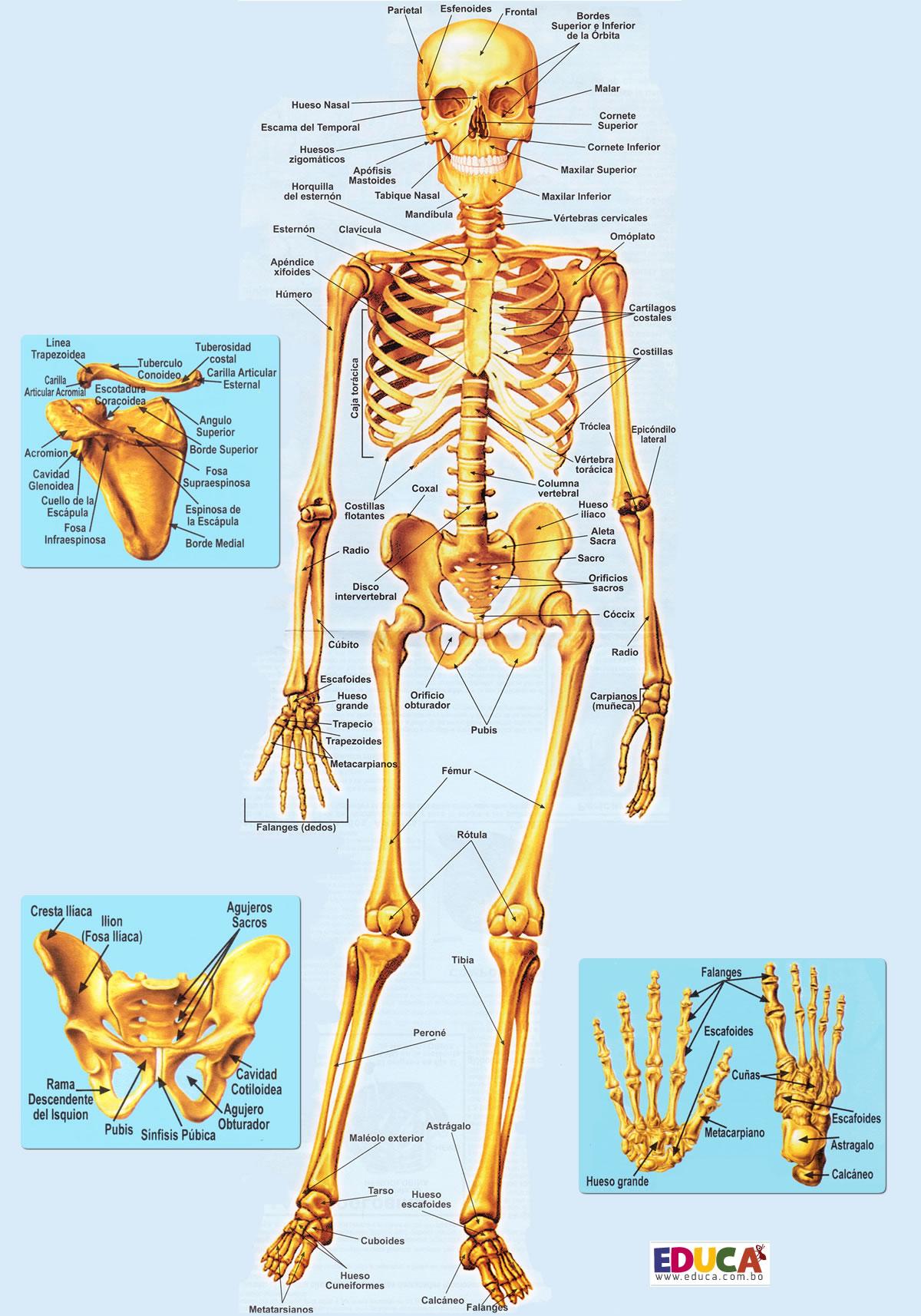 El Esqueleto (sistema óseo) | Historia, Literatura, Educación de ...