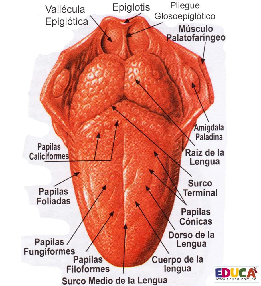 Sentidos - Anatomia Nervioso Amairani