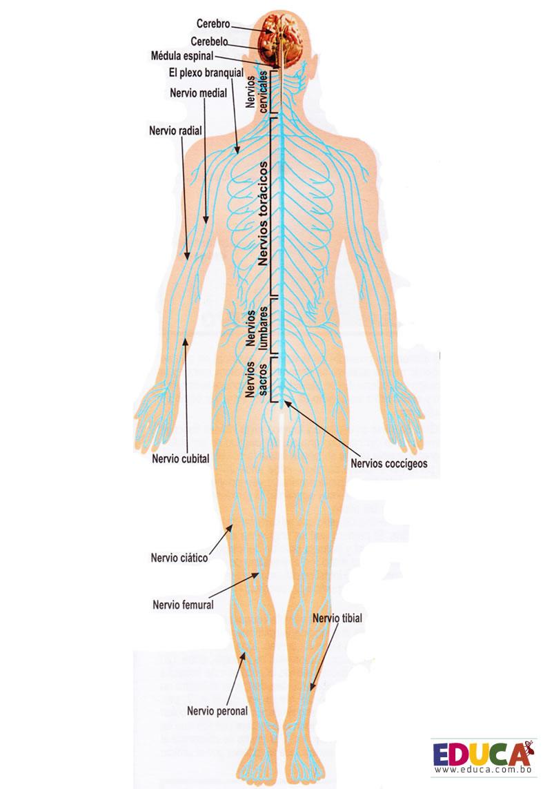Sistema Nervioso | Historia, Literatura, Educación de Bolivia, Mapas