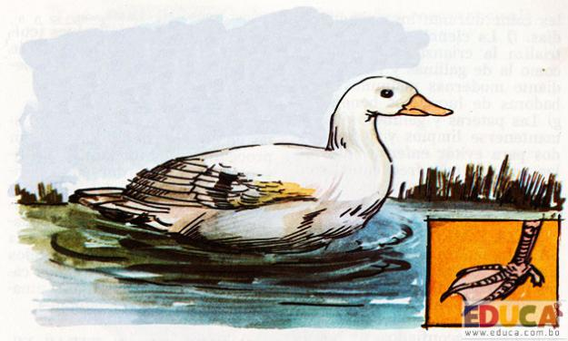 El Pato (Cairina moschata)