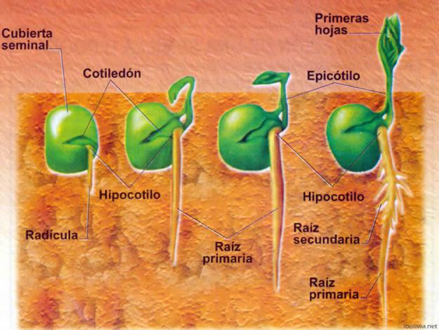 germinación de la semilla
