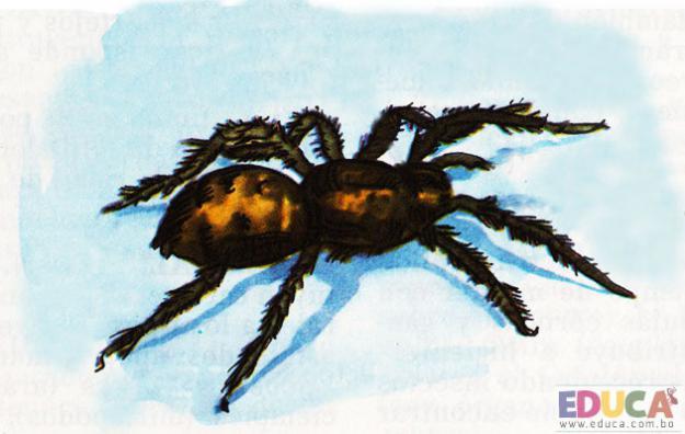 La Araña Mígale (Apasanka)