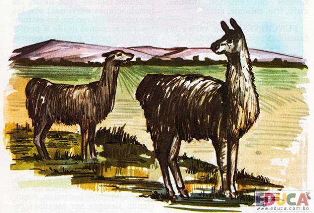 La Llama (Lama glama)