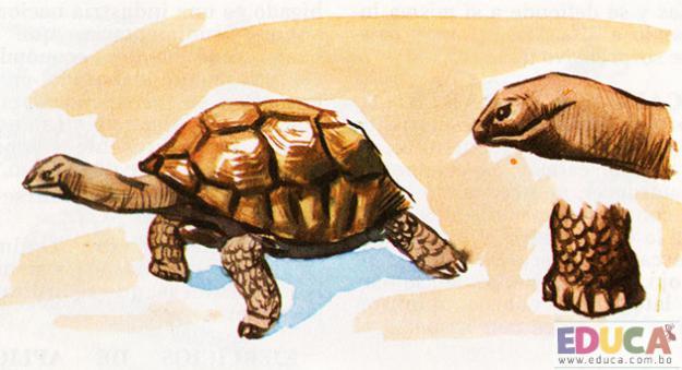 La Tortuga (Testudo tabulata)