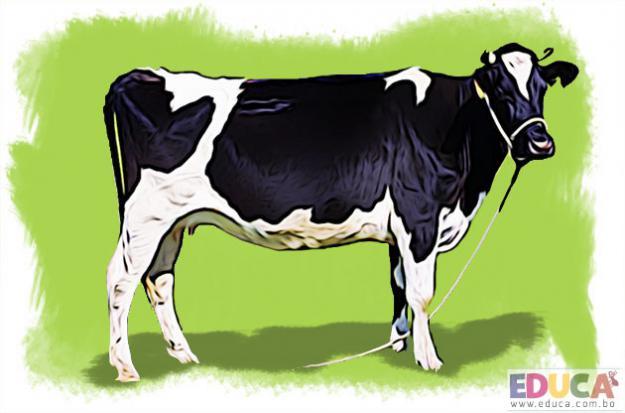 La Vaca (Bos taurus)