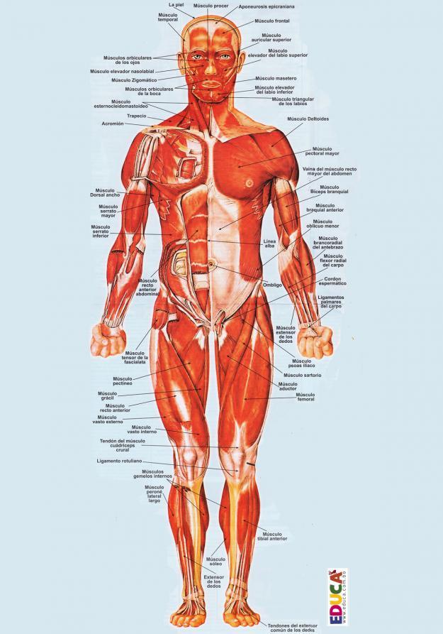 Los músculos del cuerpo humano