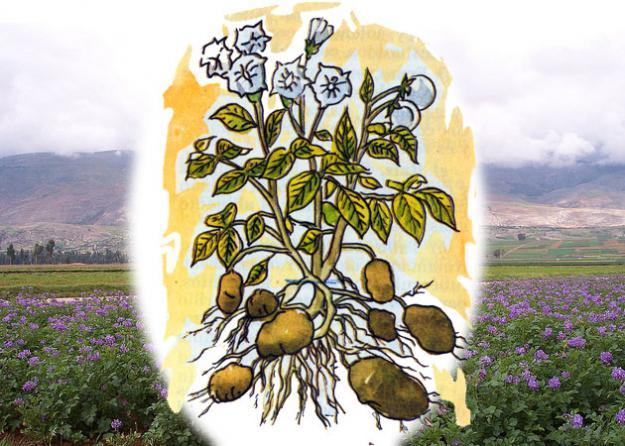 La Papa (Solanum Tuberosum)