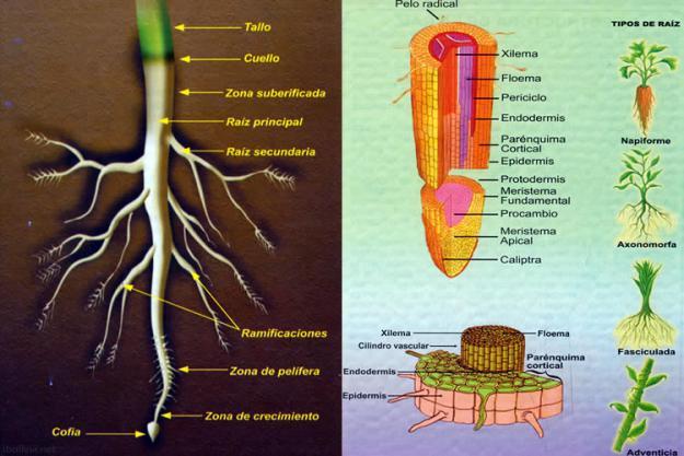 La raíz